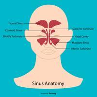 Illustration de l'anatomie sinusale