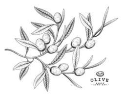éléments dessinés à la main de fruits d'olive. vecteur