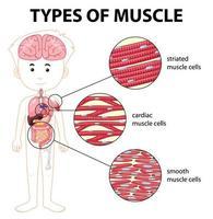 types de diagramme de cellules musculaires vecteur