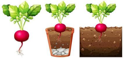 ensemble, de, radis, plante, à, racines, isolé, blanc, fond vecteur