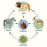 affiche éducative de la biologie pour le diagramme des chaînes alimentaires vecteur