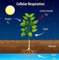 diagramme montrant le processus de respiration cellulaire vecteur