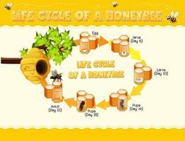 diagramme montrant le cycle de vie de l'abeille domestique