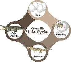 diagramme du cycle de vie du crocodile vecteur
