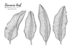 illustration botanique dessinée à la main de feuille de bananier avec dessin au trait sur fond blanc