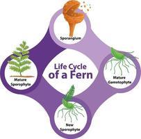 cycle de vie d'un diagramme de fougère vecteur