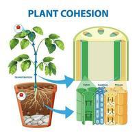 diagramme montrant la cohésion des plantes vecteur