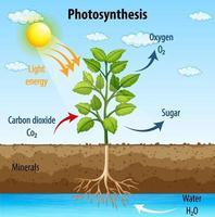 Diagramme montrant le processus de photosynthèse dans une plante vecteur