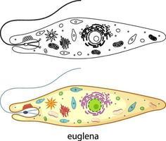 euglena en couleur et doodle sur fond blanc vecteur