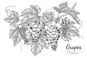 raisins fruits illustration botanique dessinés à la main avec dessin au trait sur fond blanc. vecteur
