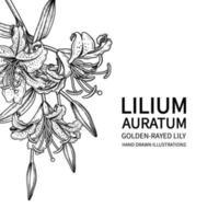 Dessins de fleur de lys aux rayons dorés ou de lilium auratum. vecteur