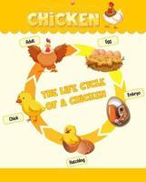 diagramme montrant le cycle de vie du poulet vecteur