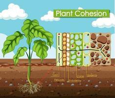 diagramme montrant la cohésion des plantes
