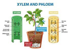 diagramme montrant le xylème et le phloème de la plante