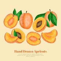 Abricots dessinés à la main de vecteur
