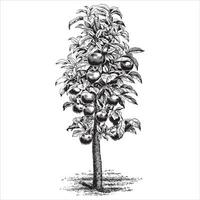 illustrations vintage de pommier vecteur