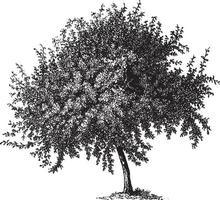 illustrations vintage de coing tree vecteur