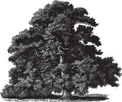 illustrations vintage de chêne sessile vecteur
