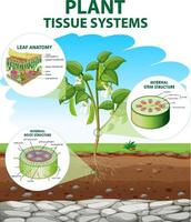 diagramme montrant les systèmes de tissus végétaux