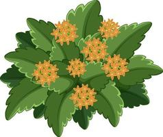 Jasmin des Indes occidentales avec de nombreuses feuilles sur fond blanc vecteur