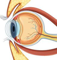 diagramme de l & # 39; anatomie du globe oculaire humain vecteur