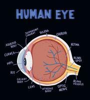 composants de l'œil humain. illustration sur l'anatomie et la physiologie. anatomie des yeux dans un style plat doodle. vecteur