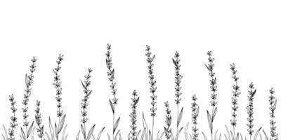 illustration vectorielle dessinés à la main lavande plante médicale. vecteur