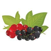 branches de cassis rouges et noirs mûrs, isolés sur fond blanc. belles baies juteuses. élément de conception d'ustensiles de cuisine. illustration vectorielle vecteur