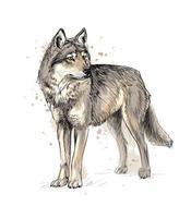 portrait d'un loup d'une éclaboussure d'aquarelle, croquis dessiné à la main. illustration vectorielle de peintures vecteur