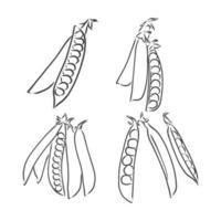 gravure illustration vectorielle de haricots et pois sur fond blanc. croquis de vecteur de pois sur fond blanc
