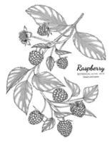illustration botanique dessinée à la main framboise avec dessin au trait sur fond blanc. vecteur