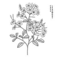 Plumbago auriculata ou cape leadwort fleur illustrations de croquis dessinés à la main vecteur