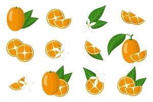 ensemble d'illustrations avec des agrumes exotiques kumquat, des fleurs et des feuilles isolés sur fond blanc. vecteur