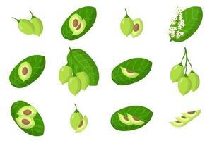 ensemble d'illustrations avec des fruits exotiques de prune kakadu, des fleurs et des feuilles isolés sur fond blanc vecteur