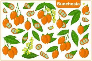 ensemble d'illustrations de dessin animé de vecteur avec des fruits exotiques bunchosia, des fleurs et des feuilles isolés sur fond blanc