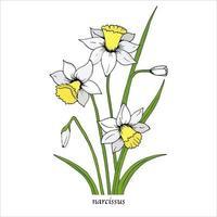 fleur de narcisse blanc avec des feuilles vertes. fleurs de printemps. illustration vectorielle botanique dessinés à la main. fleur de jonquille isolée. vecteur