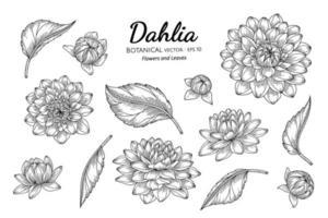 ensemble de fleur de dahlia et feuille illustration botanique dessinée à la main avec dessin au trait sur fond blanc. vecteur