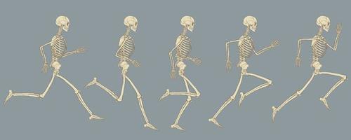 cycle de fonctionnement du dessin vectoriel de squelette humain