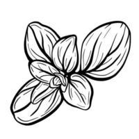 feuilles de marjolaine ou de basilic isolés sur fond blanc. la marjolaine est un assaisonnement aromatique. illustration vectorielle basilic isolé. vecteur