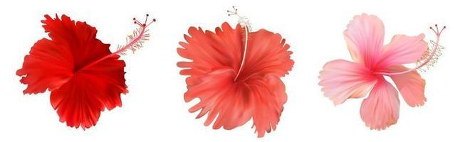 fleur d'hibiscus rose isolé sur fond blanc vecteur
