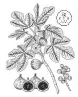 moitié entière et branche de figue avec fruits et feuilles ensemble décoratif d'illustrations botaniques croquis dessinés à la main vecteur
