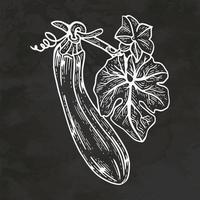 Courgette courgette bébé moelle automne légumes dessinés à la main style rétro croquis vintage vector illustration
