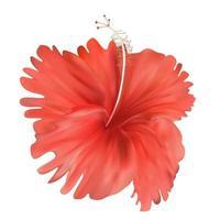 Fleur d'hibiscus rouge isolé sur fond blanc vecteur