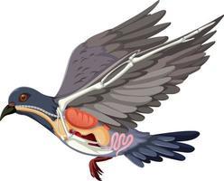 Anatomie de l'oiseau pigeon isolé sur fond blanc vecteur