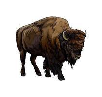 bison, buffle d'une touche d'aquarelle, dessin coloré, réaliste. illustration vectorielle de peintures vecteur