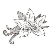 illustration de gravure de fleur de vanille et de gousses d'art en ligne vecteur