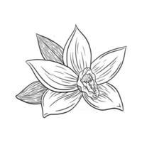 dessin au trait illustration de style de gravure de fleur de vanille vecteur
