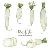 radis en vecteur plat collection aquarelle sur fond blanc