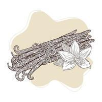 fleur de vanille et bâtons attachés bouquet illustration gravée vecteur