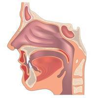 anatomie du nez et de la gorge. structure des organes humains. signe médical vecteur